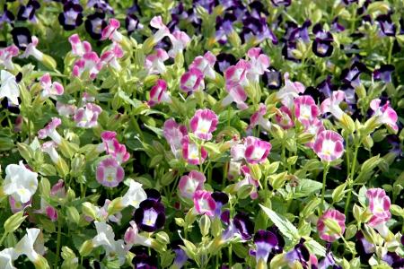 Pink and purple color of Garden Balsam or Rose Balsam in the garden Stock Photo - 24523949