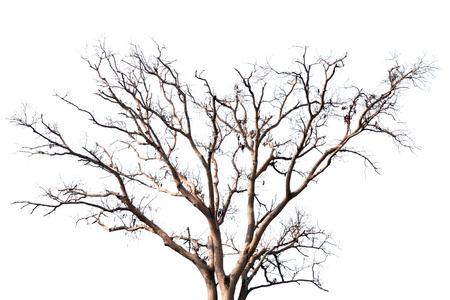 arbre mort: Arbre mort sur le blanc. Banque d'images