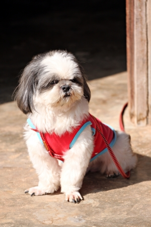 Shih tzu Dogs are sat looking something. photo