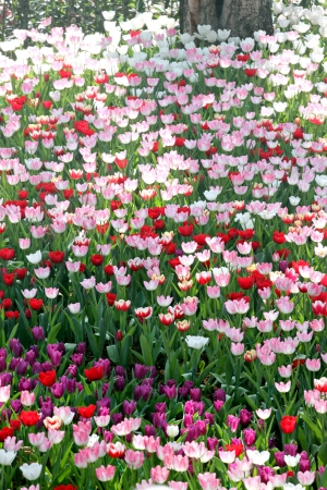 Colourful Tulips in the Plantations and sunlight. photo
