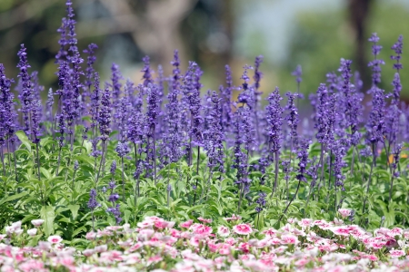Lavender of winter in the garden. Stock Photo