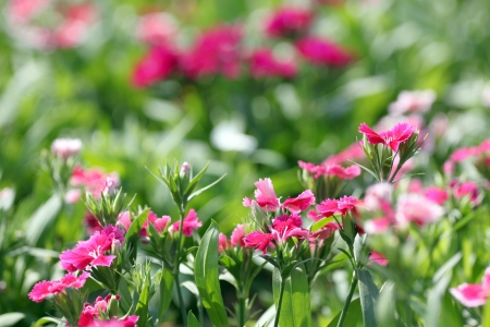 Pink Dianthus chinensis flower is species of Dianthus native.