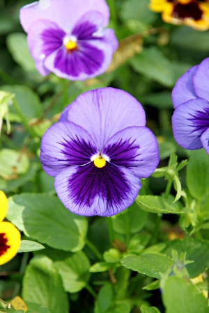 Blue Pansy or viola flowers in the garden. photo