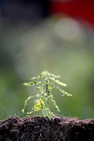 foret sapin: plants d'arbres forestiers de plus en plus de terrain.