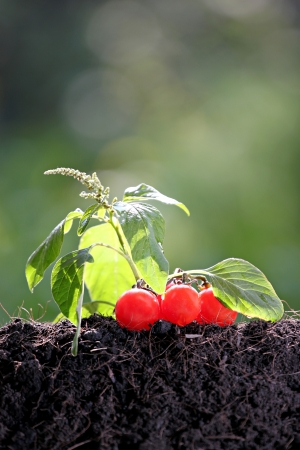 yielded: Tomato seedlings growing out of ground in yielded. Stock Photo