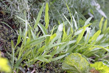 convolvulus: The Swamp Cabbage in vegetable garden.