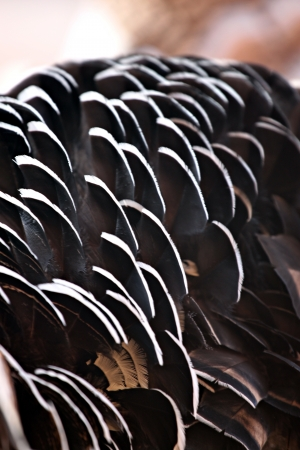 Turkey feathers are black and white mixed by nature. Stock fotó