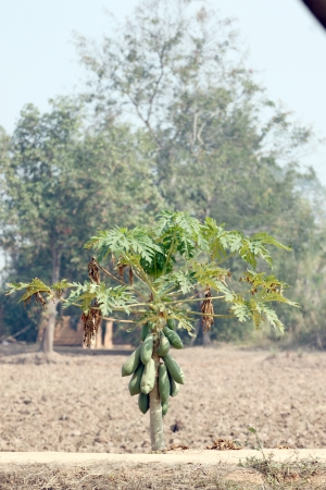 deficit: Papaya trees in the plantation and water deficit.