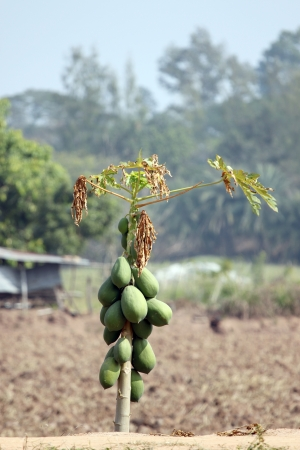 Papaya trees in the plantation and water deficit. photo