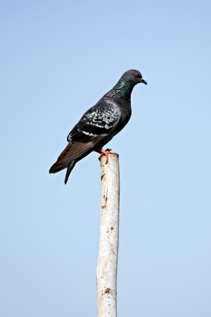 atop: The Pigeons perched atop wood poles.
