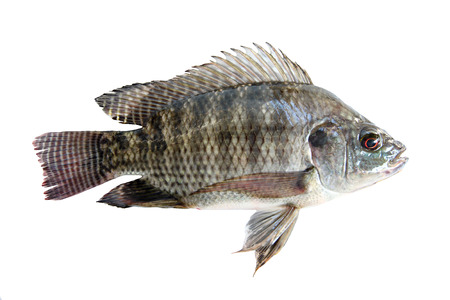 Fresh Tilapia isolated on white background. photo
