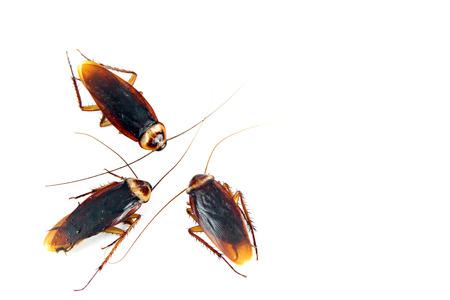 白い背景上に分離されて 3 ゴキブリ。