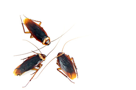 Three Cockroaches isolated on white background.
