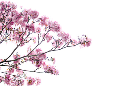 Pink flowers are blooming on white background. photo
