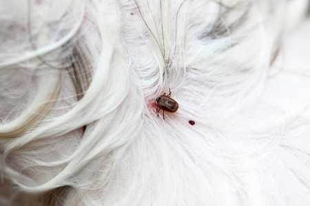 Big Ticks on a dog in cleaning. photo