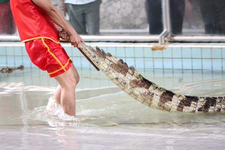 Show to catch crocodiles with his bare hands. photo