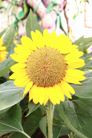 sunflower in the garden. Stock Photo