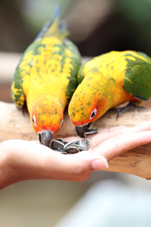 parrot is eating foods on people hand. photo