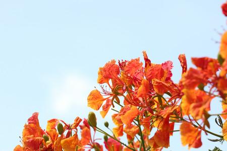 flamboyant: Flame Tree Flower on blue sky background. Stock Photo