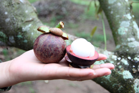 Fresh mangosteen fruits on hand in orchards. photo