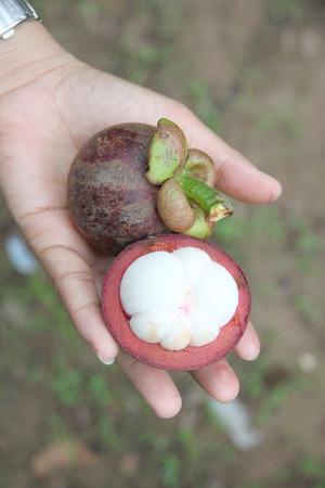 果樹園の女性の手で新鮮なマンゴスチン。