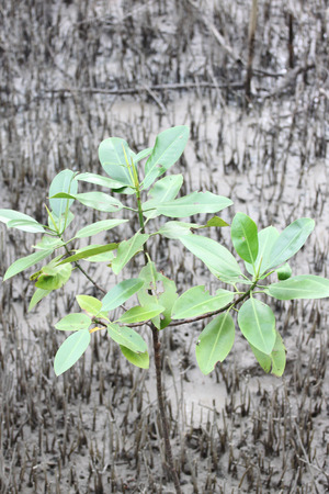Propagated for mangrove trees on coastal area. Stock Photo