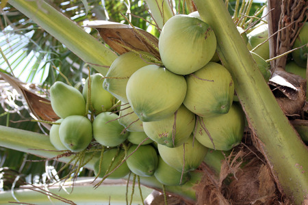 fruiting: coconut trees are fruiting in the garden.