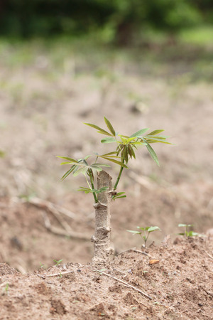 potato tree: Seedlings of the sweet potato in agriculture.