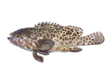 白い背景の上の新鮮なハタ科の魚。 写真素材