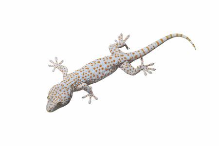 bugaboo: Tokay Gecko isolato su sfondo bianco.