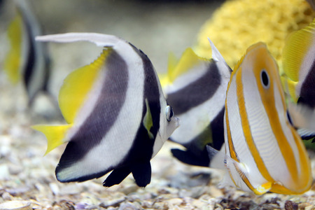 Focus the Butterfly Fish in Sea coral reef area.