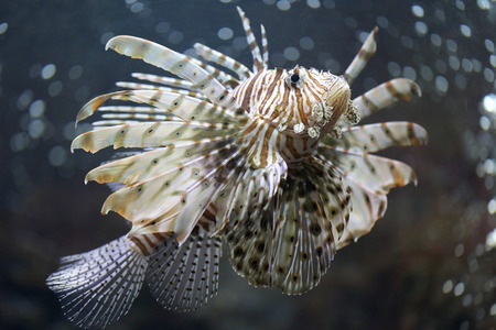 Focus the Lionfish and dangerous fish in the sea. photo