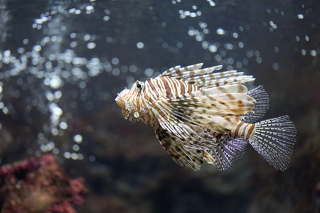 dragonfish: Focus the Lionfish and dangerous fish in the sea.