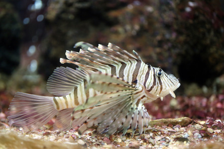 Focus the Lionfish and dangerous fish in the sea.