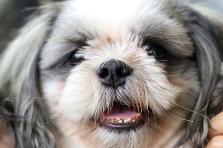 Focus on Face of the Shih Tzu dog.