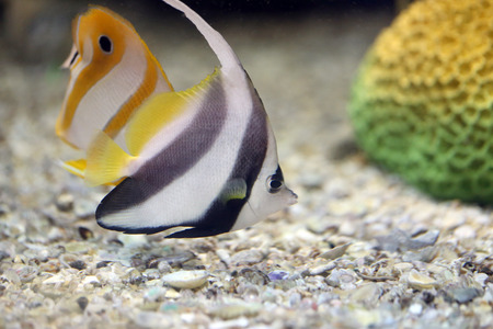 chelmon: Focus the Butterfly Fish in Sea coral reef area.