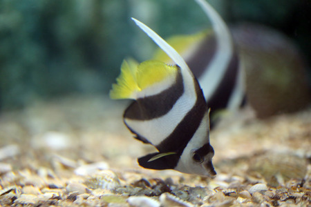 Focus the Butterfly Fish in Sea coral reef area. photo
