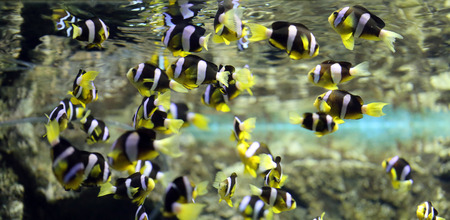clown fish: Colorful clown fish in undersea at the aquarium. Stock Photo