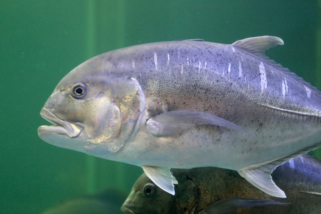 humilde: Jurel pescado gigante en un acuario.