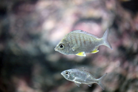 sea silver fish in a Aquarium. photo