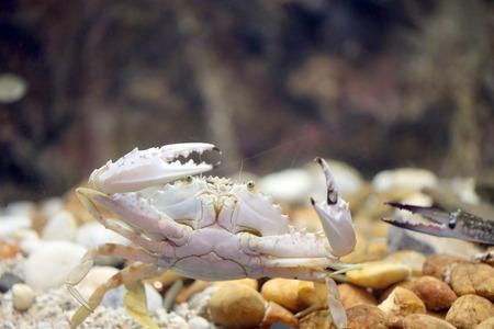 blue crab: Flower crab or Blue crab in the aquarium.