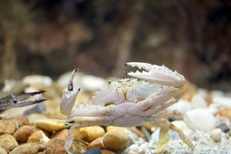 blue swimmer crab: Flower crab or Blue crab in the aquarium.