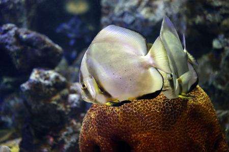 platax: Focus on Platax fish in the Aquarius.