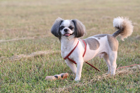 Shih Tzu dog in the evening at park.