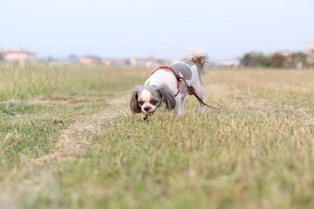 cuteness: Shih Tzu dog in the evening at park.