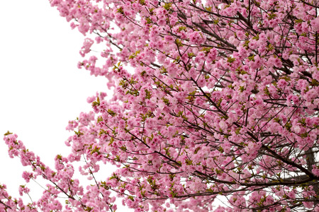 fade: cherry Blossoms or Pink Sakura for soft color flower background.