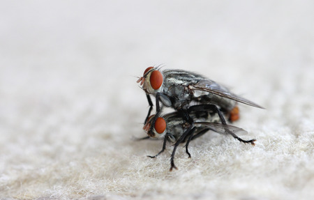 breeding: fly insect are breeding. Stock Photo