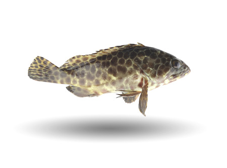 grouper: grouper fish isolated on white background with clipping paths.