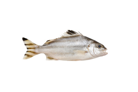 Grunter fish isolated on white background with clipping path.