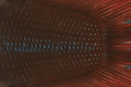 fighting fish: red and black of fighting fish for abstract pattern background.